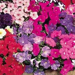 Petunia Carpet Mix F1 Hybrid