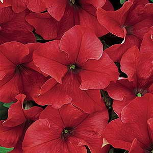 Petunia Dreams Red F1 Hybrid