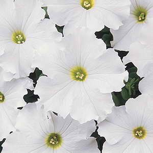Petunia Dreams White F1 Hybrid