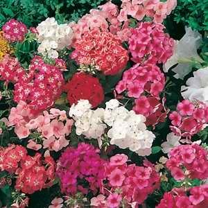 Phlox Diamond Mix