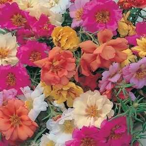 Portulaca Double Choice Mix