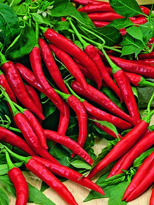Seed Mat Capsicum Chilli Long Red Cayenne (8cm)