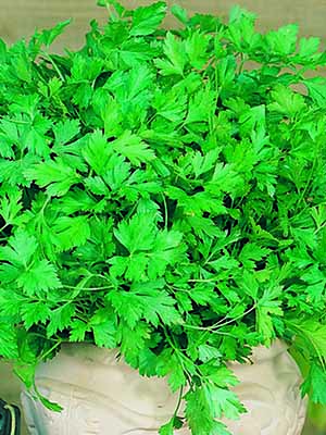 Seed Mat Parsley Plain Leaf Italian (8cm)