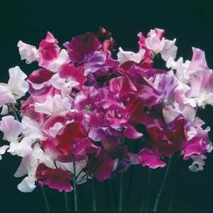 Sweet Pea Hammet's Horizon Mixed