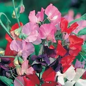 Sweet Pea - Perfume Delight