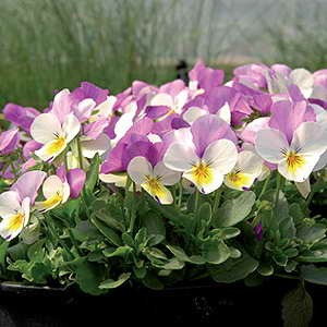 Viola White with Purple Wing F1 Hybrid