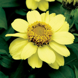 Zinnia Zahara Yellow