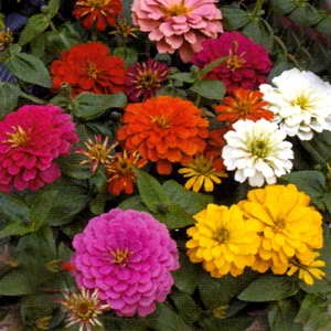 Zinnia Fairyland Mix F1 Hybrid