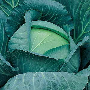 Cabbage Kilaton F1 Club Root Resistant