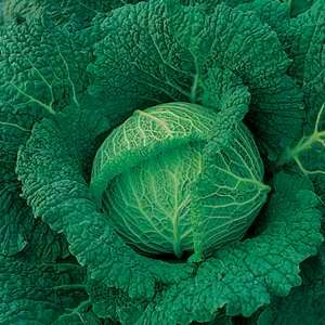 Cabbage Savoy King F1 Hybrid