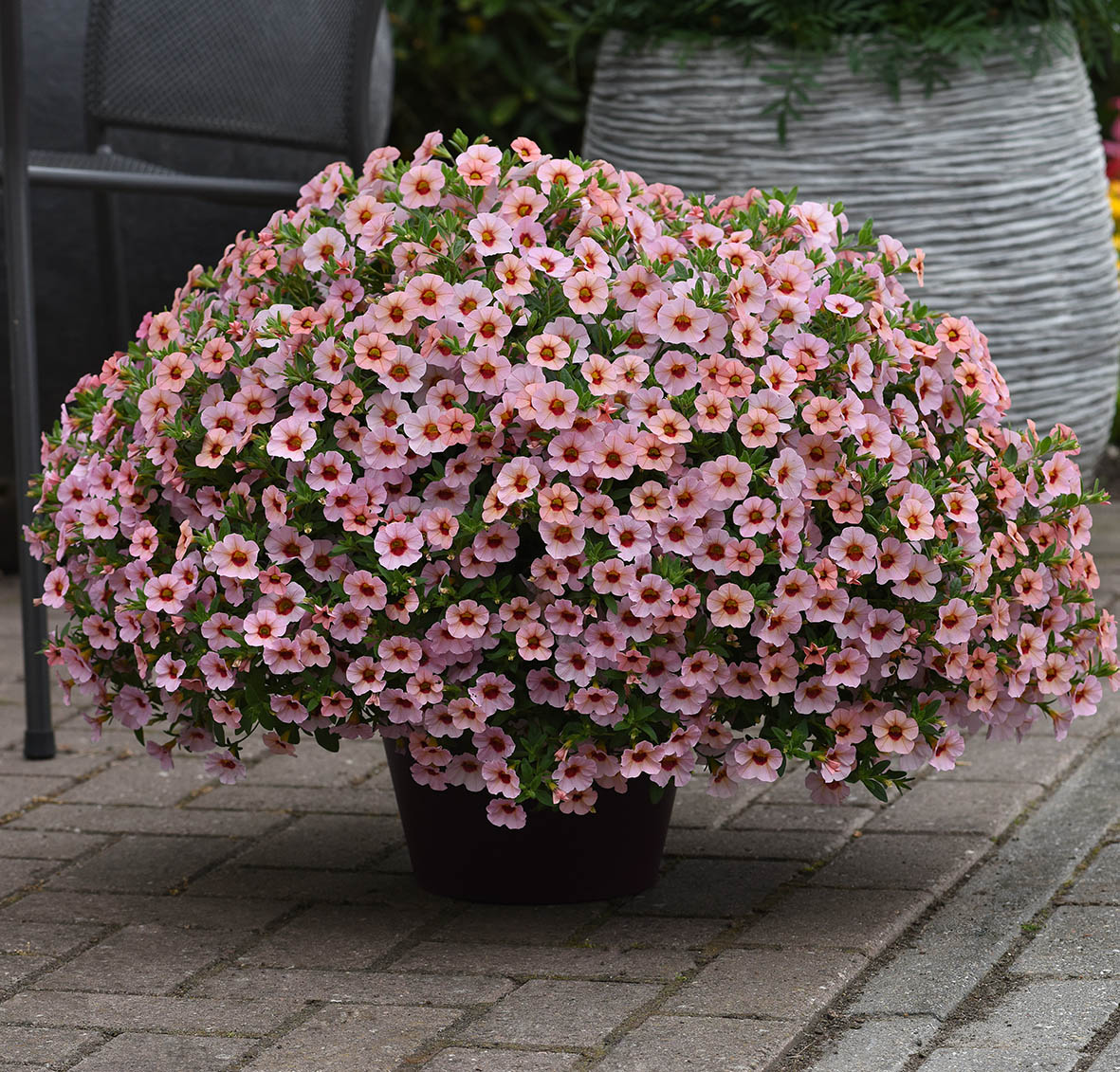 Calibrachoa Kabloom Light Pink Blast