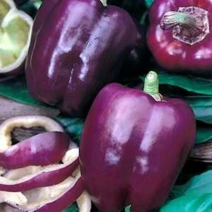 Capsicum Purple Beauty