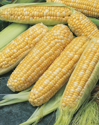 Corn Bicolour Honey N Pearl F1 Hybrid