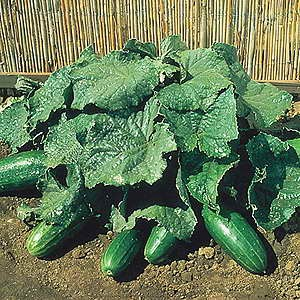 Cucumber Spacemaster Egmont Seed Company Ltd Online