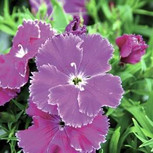 Dianthus Diana Blueberry F1 Hybrid