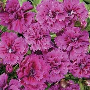 Dianthus Double Dynasty Orchid F1 Hybrid