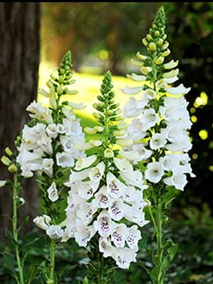 Digitalis Dalmation White with Purple Spots