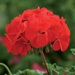 Geranium Horizon Red F1 Hybrid