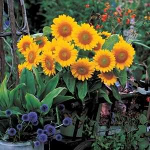 Helianthus Sunrich Irish Gold