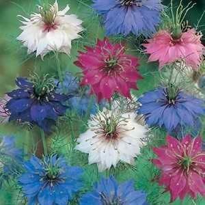 Nigella Persian Jewels Mix