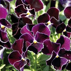 Pansy Ultima Purple Lace F1 Hybrid