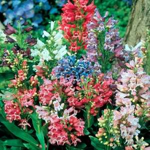 Penstemon Petite Bouquet Mix