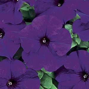 Petunia Dreams Midnight Blue F1 Hybrid