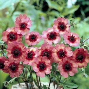 Potentilla Melton Fire