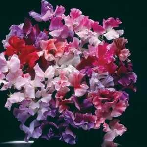 Sweet Pea Hammet's Melody Mixed