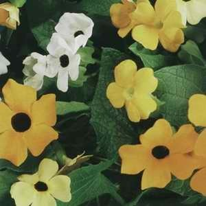 Thunbergia Susie Mix