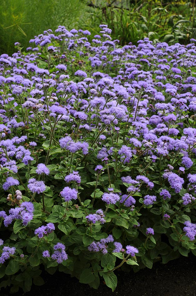 Ageratum High Tide Blue