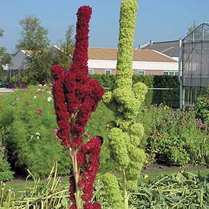 Amaranthus Tower Red