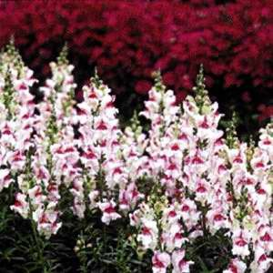 Antirrhinum Princess White With Purple Eye F1 Hybrid