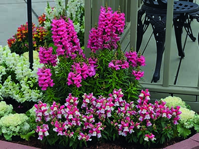Antirrhinum Tri Pack Planter