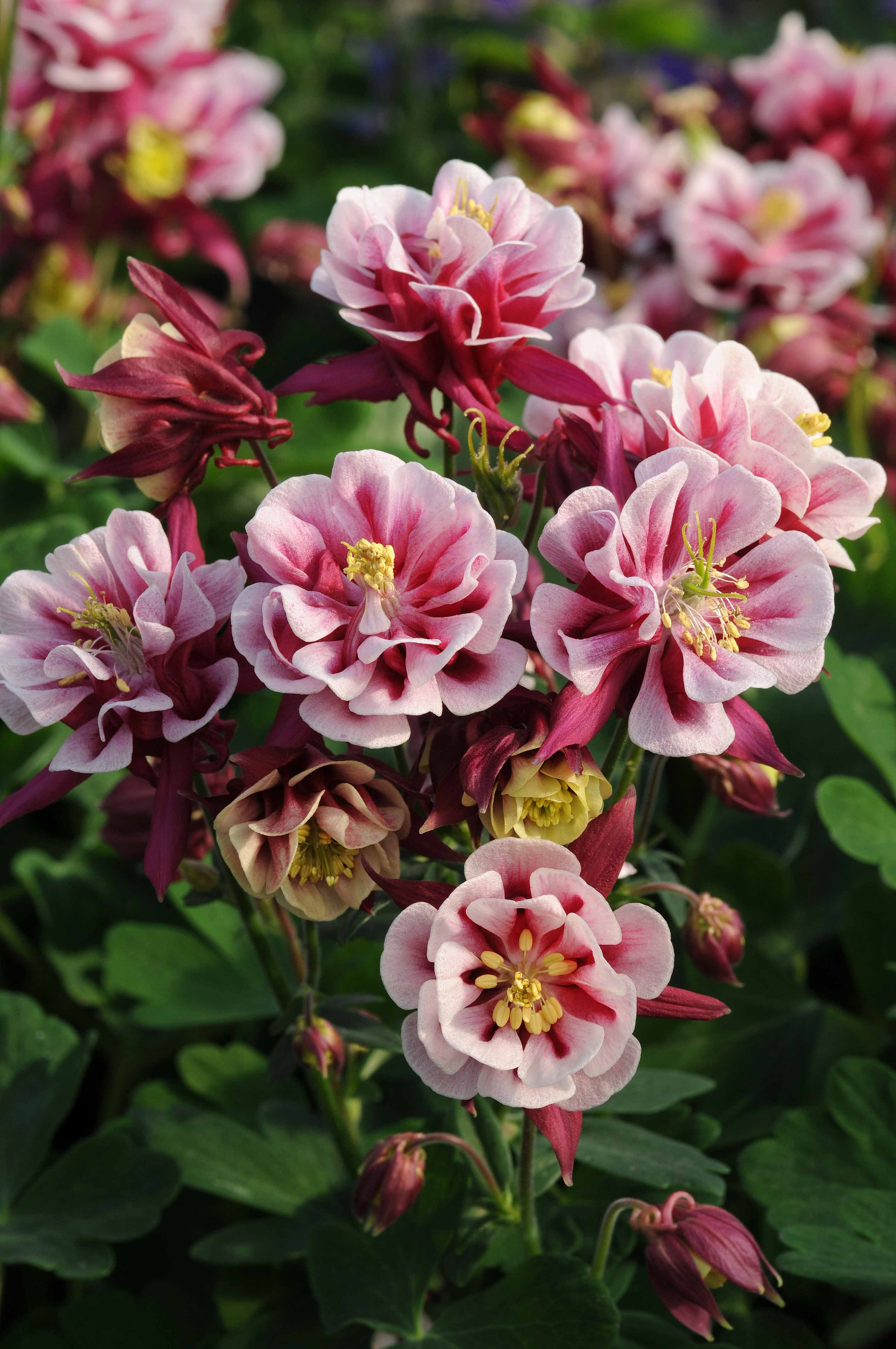 Aquilegia Winky Double Red - White