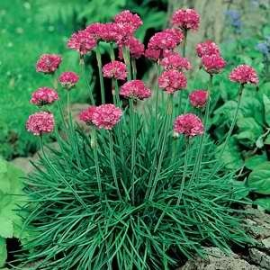 Armeria Mini Sticks Rose