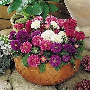 Aster Dwarf Pot & Patio Mix