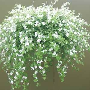 Bacopa Snowtopia