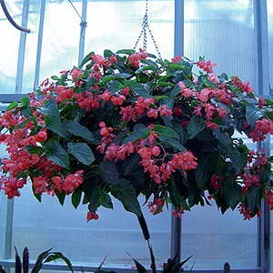 Begonia Dragon Wing Red F1 Hybrid
