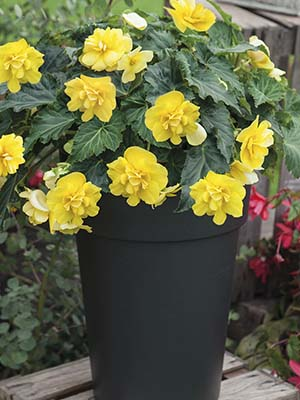 Begonia Joy Tumbling Yellow F1 Hybrid