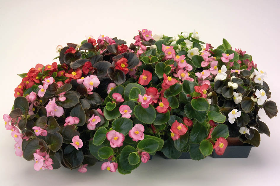 Begonia Nightsprint Mix