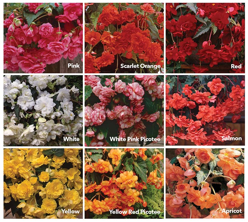 Begonia Sun Dancer Basket Mix Tuberous