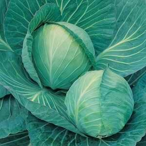 Cabbage Ranfurly Mini F1 Hybrid