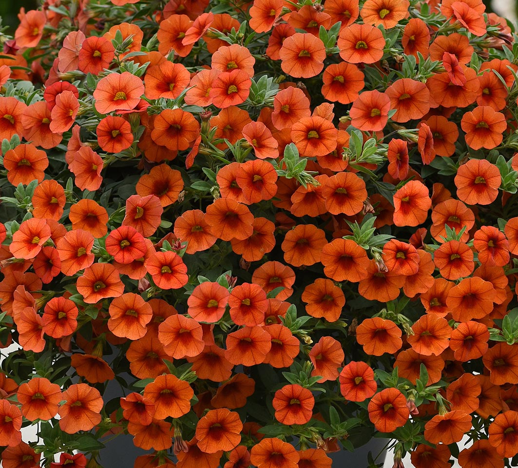 Calibrachoa Kabloom Orange