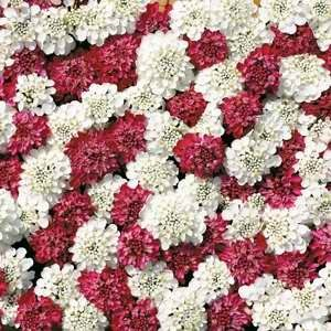 Candytuft Fire Ice