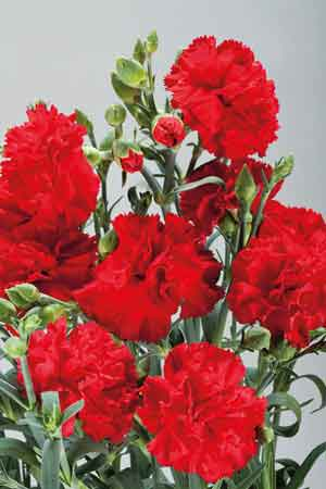 Carnation Can Can Scarlet F1 Hybrid