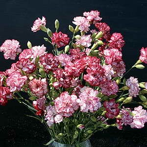 Carnation Raspberry Ripples