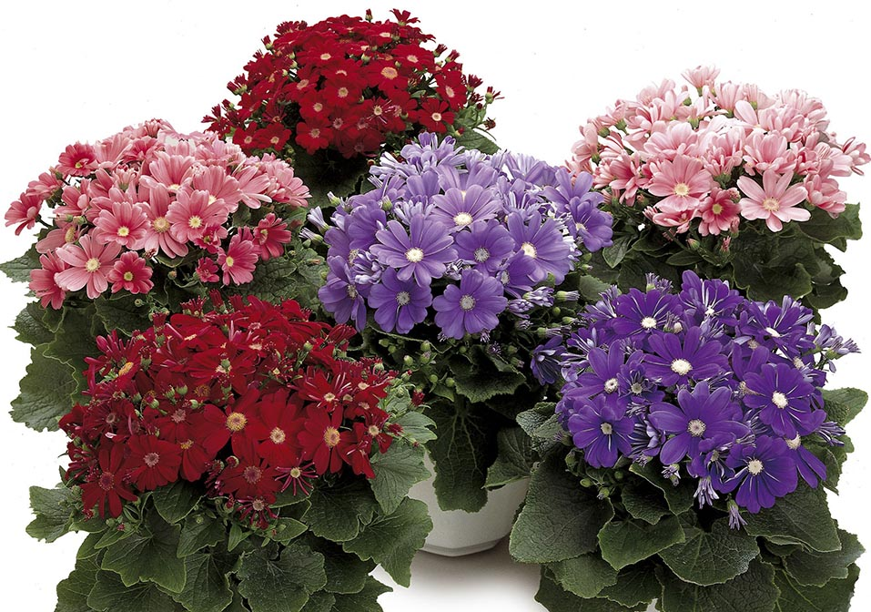 Cineraria Satellite Mixed