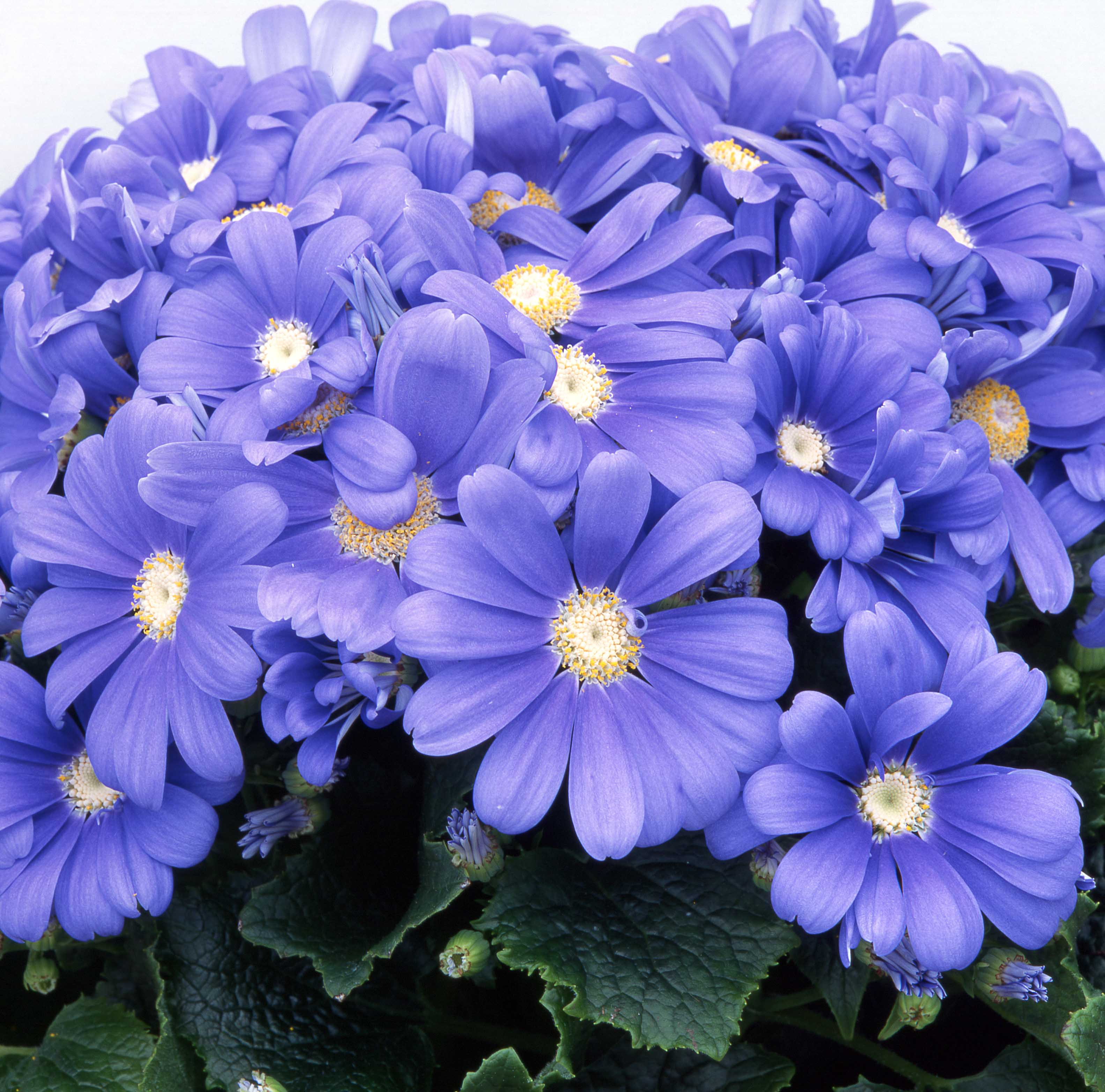Cineraria Satellite Sky Blue Shades F1 Hybrid