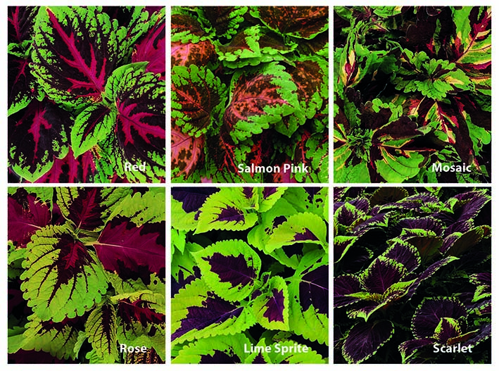 Coleus Shade Mix